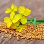 Семена горчицы Радуга