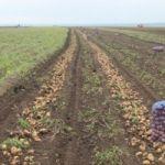 Картофель оптом в Краснодарском крае.молодой картофель оптом Краснодар
