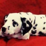 Открыты продажи щенков породы Далматин 🐶