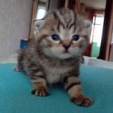 Шотландские вислоухие котята в Краснодаре