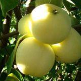 Саженцы яблони, деревья яблоня