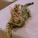 Клубные бенгальские котята- домашние леопардики