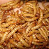 Мучной червь Хрущак